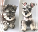 Schnauzer (Miniature) Breeder in SALINAS, CA, USA