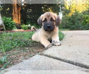 Anatolian Shepherd Dog Breeder near CHESTER, SC, USA
