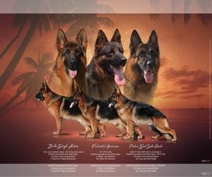 German Shepherd Dog Dog Breeder in MIAMI,  USA