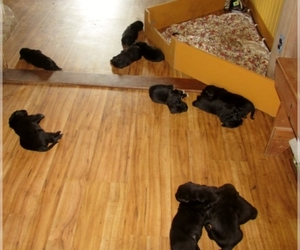 Main photo of Newfoundland Dog Breeder near BALDWIN, MD, USA