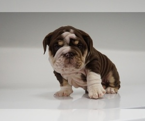 English Bulldog Dog Breeder in MURRAYVILLE,  USA