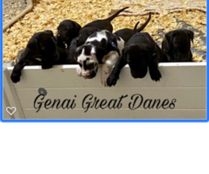 Great Dane Dog Breeder in MEM,  USA