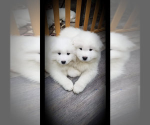 Samoyed Dog Breeder near MOUNT VERNON, WA, USA