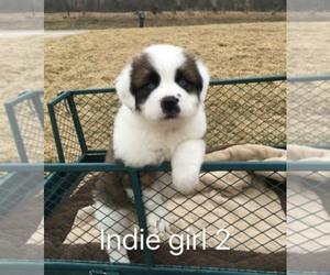 Saint Bernard Breeder in CANTRIL, IA