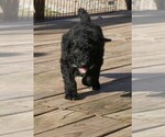 Airedoodle Breeder in FORT WORTH, TX, USA