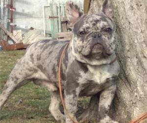 Yorkshire Terrier Dog Breeder in SIMI VALLEY,  USA