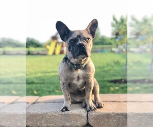 French Bulldog Dog Breeder in BLACK WALNUT,  USA