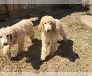 Main photo of Poodle (Standard) Dog Breeder near CERES, CA, USA
