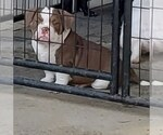 American Bully Breeder in ATWATER, CA, USA