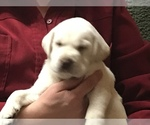Labrador Retriever Breeder in MANSFIELD, OH, USA