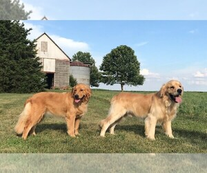 Golden Retriever Dog Breeder near PRINCEVILLE, IL, USA