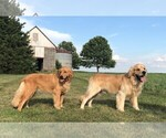 Golden Retriever Breeder in PRINCEVILLE, IL, USA