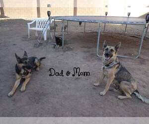 Main photo of German Shepherd Dog Dog Breeder near CHINO VALLEY, AZ, USA