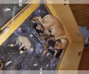 Main photo of Mastiff Dog Breeder near STREAMWOOD, IL, USA