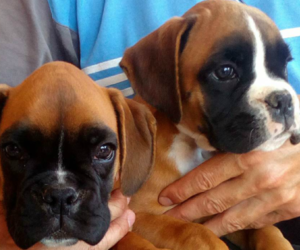 Boxer Dog Breeder in WILMINGTON,  USA