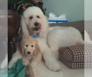 Main photo of Goldendoodle Dog Breeder near LAKE WORTH, FL, USA