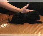 Poodle (Toy) Breeder in DOUGLAS CITY, CA, USA
