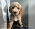 Goldendoodle-Poodle (Miniature) Breeder in RICHMOND, IL, USA