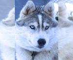 Siberian Husky Breeder in TULSA, OK, USA