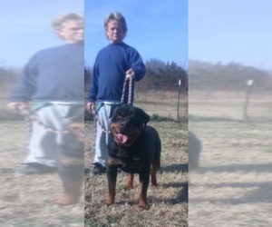 Main photo of Rottweiler Dog Breeder near HACKETT, AR, USA