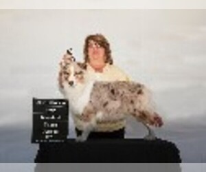 Australian Shepherd Breeder in SALINAS, CA, USA