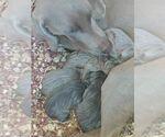 Weimaraner Breeder in ALBUQUERQUE, NM, USA