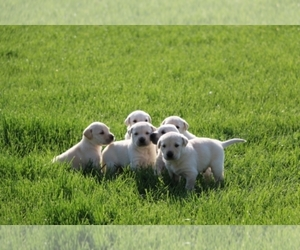 Labrador Retriever Breeder in Oakland, NE