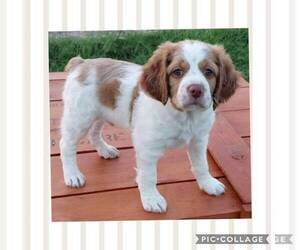 Brittany Dog Breeder in SPRINGTOWN,  USA