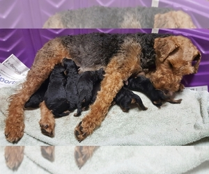 Welsh Terrier Breeder in CANAL FULTON, OH