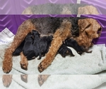 Welsh Terrier Breeder in CANAL FULTON, OH, USA