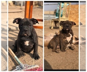 Main photo of American Bully Dog Breeder near MADERA, CA, USA