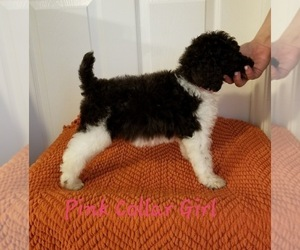 Main photo of Poodle (Standard) Dog Breeder near GREENVILLE, TX, USA
