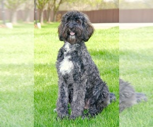 Poodle (Standard)-Portuguese Water Dog Breeder in WEST PLAINS, MO, USA