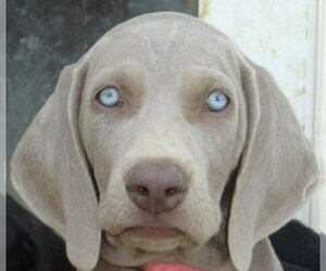 Weimaraner Dog Breeder near BAGDAD, KY, USA