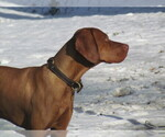 Vizsla Breeder in HULL, IA, USA