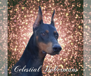 Main photo of Doberman Pinscher Dog Breeder near NAPOLEON, OH, USA