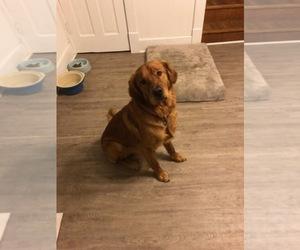 Main photo of Golden Labrador Dog Breeder near BURLINGTON, IA, USA
