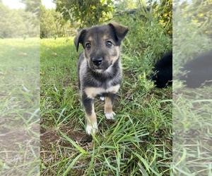 Border Collie-Norwegian Elkhound Mix Dog Breeder in HEGINS,  USA