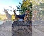 Beagle Breeder in BEDFORD, VA, USA