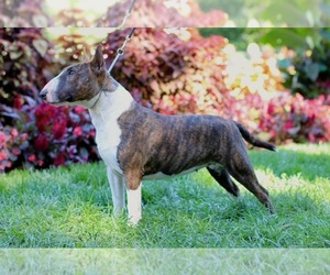 Main photo of Miniature Bull Terrier Dog Breeder near LENT, MN, USA
