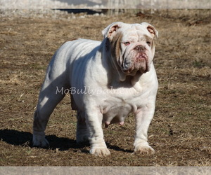 Bulldog Dog Breeder near VERONA, MO, USA