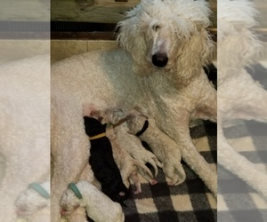 Main photo of Poodle (Standard) Dog Breeder near INDEPENDENCE, MO, USA