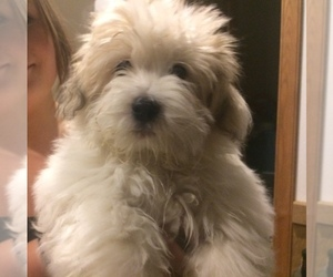 Coton de Tulear Dog Breeder near BIG RAPIDS, MI, USA