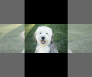 Main photo of Old English Sheepdog-Poodle (Toy) Mix Dog Breeder near LOUISVILLE, IL, USA