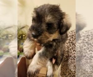 Main photo of Schnauzer (Miniature) Dog Breeder near THOMASVILLE, NC, USA