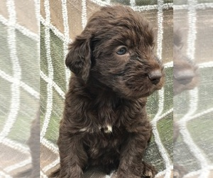 Labradoodle Breeder in SUMMERVILLE, SC, USA