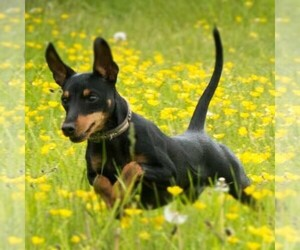 Main photo of Manchester Terrier (Toy) Dog Breeder near ROUND ROCK, TX, USA