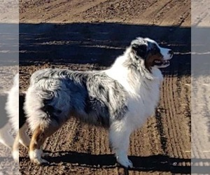 Main photo of Australian Shepherd Dog Breeder near BIEBER, CA, USA