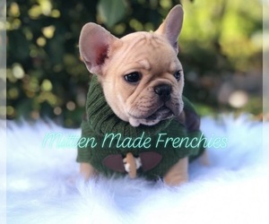 Main photo of French Bulldog Dog Breeder near BATTLE CREEK, MI, USA