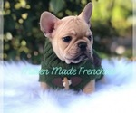 French Bulldog Breeder in BATTLE CREEK, MI, USA